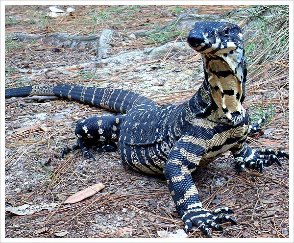 The tales of George the Goanna: episode 11- George untrainable and ...