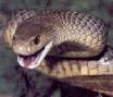 Australain brown snake no 2 in world most deadly