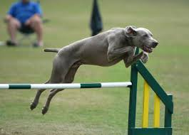 Leap over a high jump rod or through hoop little doggie and you'll please the Master.