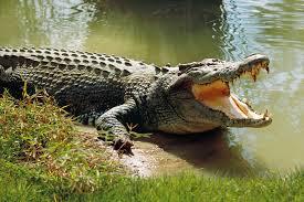 Australian crocodile 1