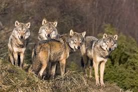 The only wolves we have in Australia are the mafia, The Triad gangs, Bikie drug dealing gangs and Hillsong and Australian Christian Churches (formerly Australian Assemblies of God) top leaders.